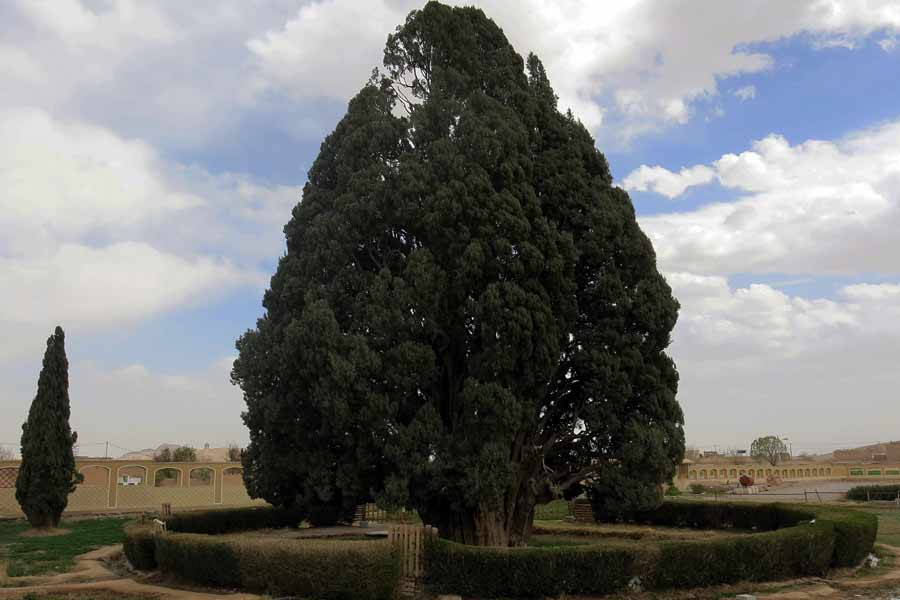 Abar Kouh Cypress Tree